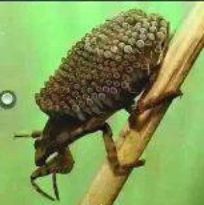 kumbang2
